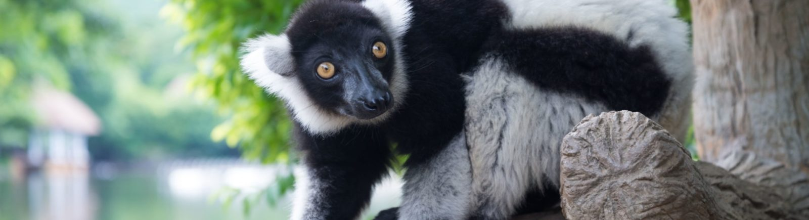 lemurien-andasibe-INDRI INDRI tour operator madagascar