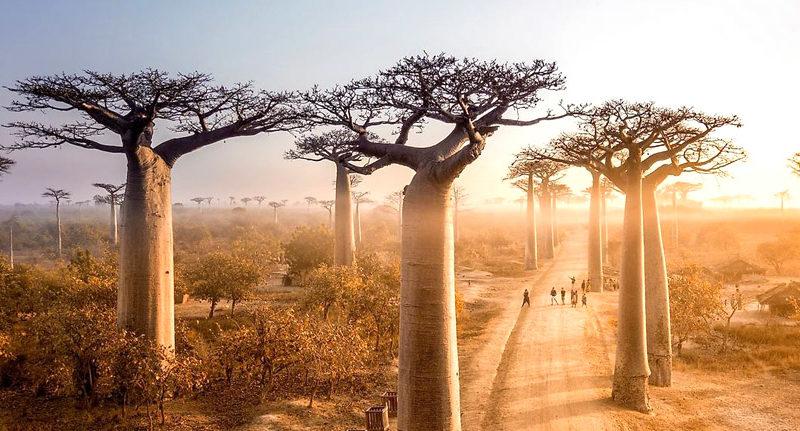 baobab-avenue-baobab-street-baobab-allee-baobab-of-madagascar-tour-operator-madagascar-travel-to-madagascar
