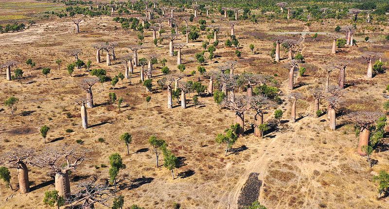 travel-to-madagascar-Baobab-forest-near-Ambahikily-Morombe-district-Atsimo-Andrefana-Region-Madagascar-Africa