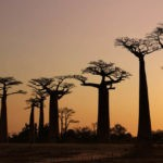 12-days-madagascar-discovering-andasibe-kirindy-tsingy-de-bemaraha-allee-des-baobabs-antsirabe-ranomafana-isalo-national-park